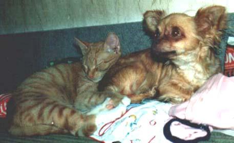 Chihuahua im Zwinger