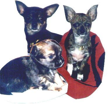 Chihuahua Welpen Bilder