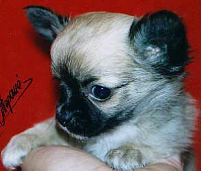 Chihuahua Weibchen im Zwinger