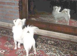 Chihuahua beim spielen