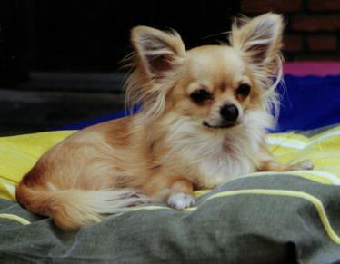 Chihuahua Hündin im Zwinger