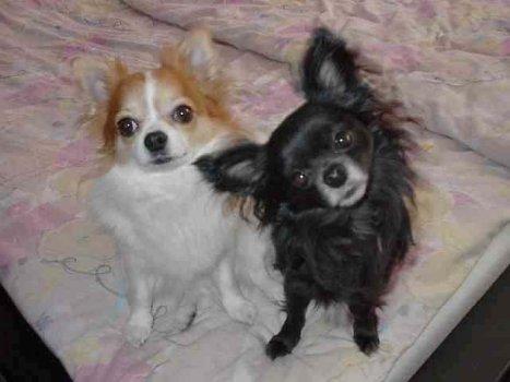 Chihuahua Familie