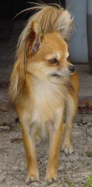 Chihuahua Weibchen Fotos
