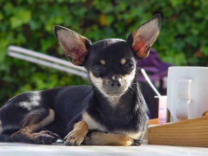 Foto von Chihuahua Rüde