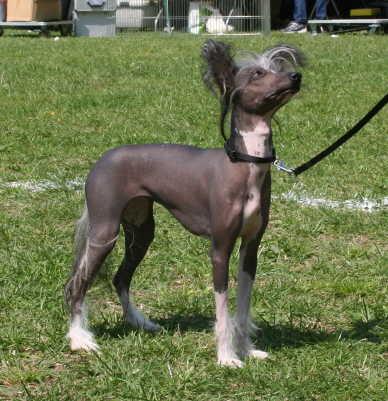 Chinesischer Schopfhund auf dem Rasen