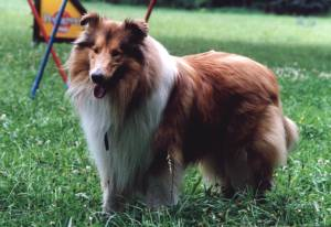 Collie Langhaar
