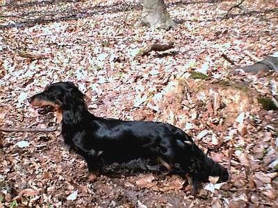 Dackel im Wald
