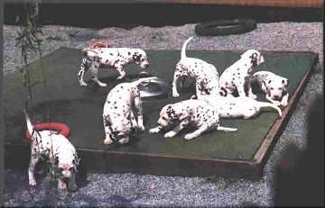Dalmatiner beim spielen
