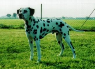Fotos von Dalmatiner auf dem Rasen