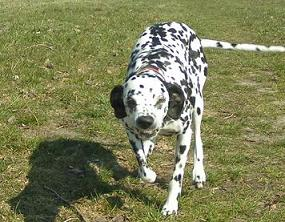 Dalmatiner Fotos