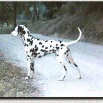 Dalmatiner Männchen