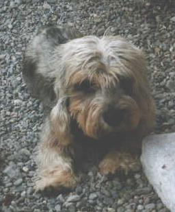 Dandie Dinmont Terrier Rüde