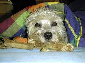 Foto von Dandie Dinmont Terrier