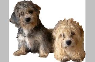 Dandie Dinmont Terrier im 2er Pack