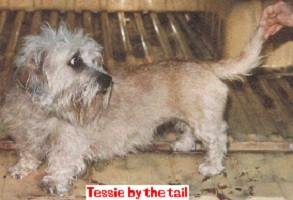 Dandie Dinmont Terrier Hündin