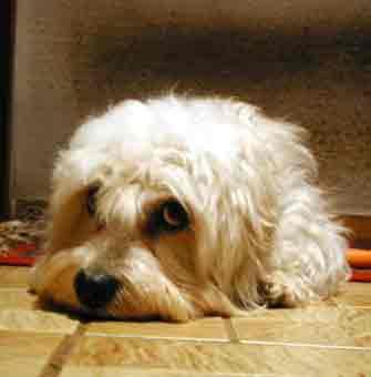 Bilder von Dandie Dinmont Terrier