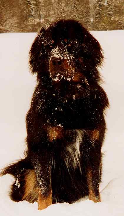 Do-Khyi Portrait im Schnee