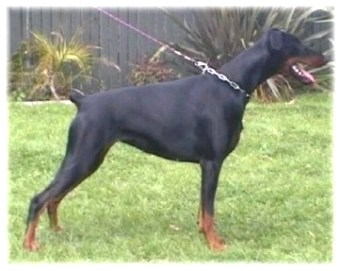 Dobermann Fotos