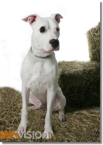 Dogo Argentino Welpe Bilder