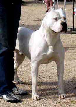 Dogo Argentino Fotos