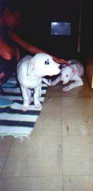 Dogo Argentino Welpen Bilder