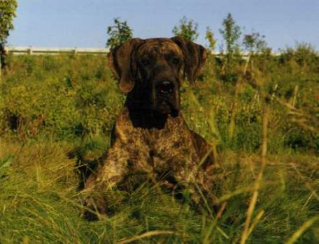 Deutsche Dogge, Great Dane, Dogue Allemand
