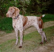 Deutsch Kurzhaar, German Shorthaired Pointer, Braque allemand à poil court