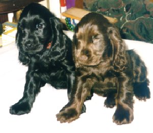 English Cocker Spaniel im 2er Pack