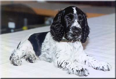 English Cocker Spaniel Rüde