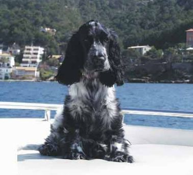 Foto von English Cocker Spaniel