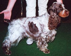 English Cocker Spaniel Männchen