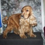 Bilder von English Cocker Spaniel