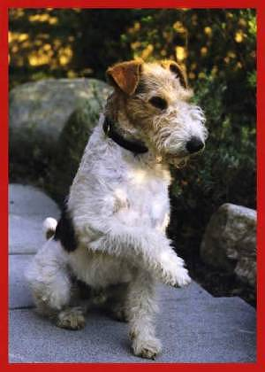 Fox Terrier Drahthaar