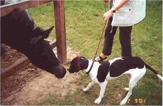 Bilder von Altdänischer Vorstehhund