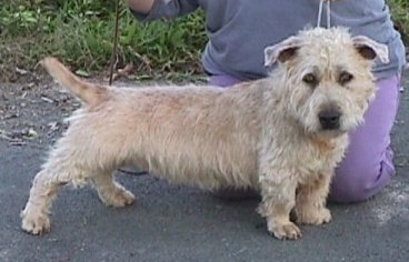Irish Glen of Imaal Terrier Bilder