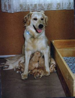 Golden Retriever Welpen Bilder