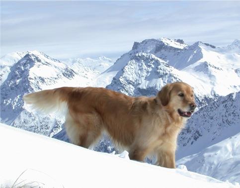 Golden Retriever Rüde im Schnee