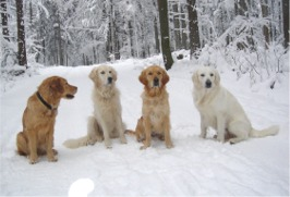 Golden Retriever im 4er Pack