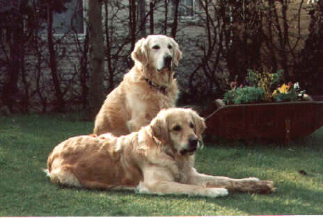 Golden Retriever im 2er Pack