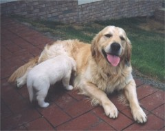 Golden Retriever Familie