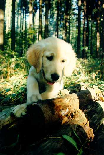 Golden Retriever im Wald