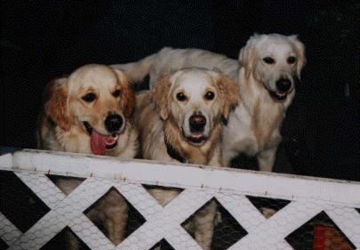 Golden Retriever im 3er Pack