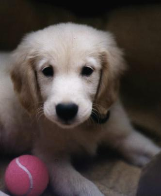 Golden Retriever Welpe Bilder