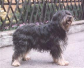 Katalanische Schäferhund Langhaarig