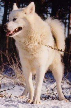 Grönlandhund Bilder