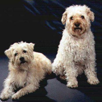 Holländischer Smoushund Bilder