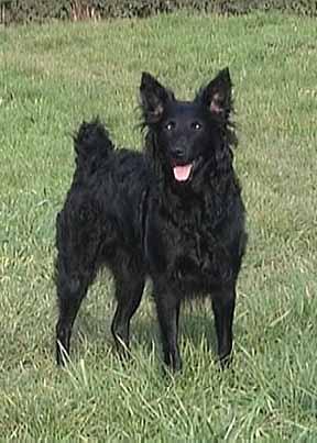 Kroatischer Schäferhund Bilder