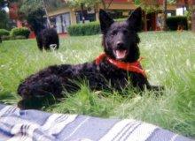 Kroatischer Schäferhund Fotos