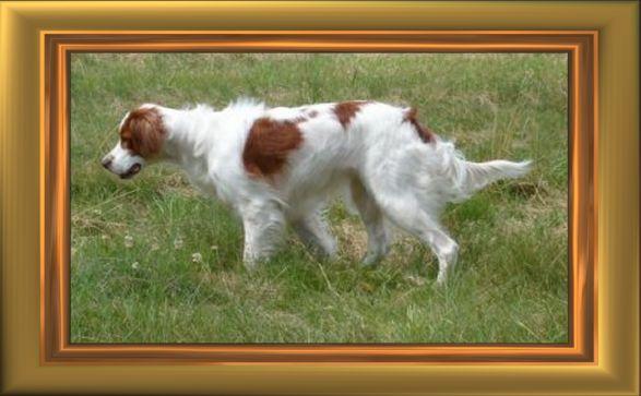 Irischer Rot-Weißer Setter Fotos