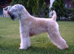 Irish Soft Coated Wheaten Terrier Bilder